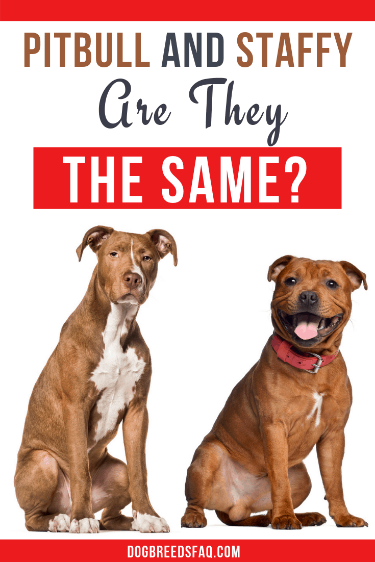 Are pit bulls and staffies the same image