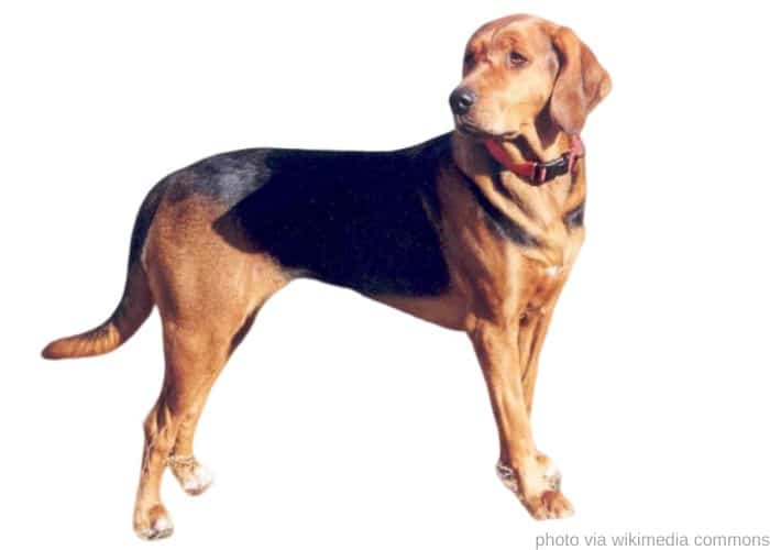 Polish Hound on white background