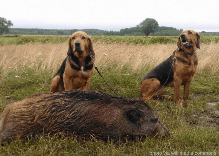 2 Polish Hounds hunted wild boar