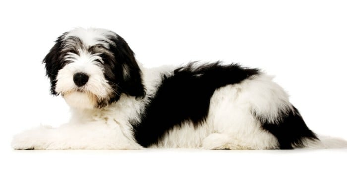 Polish Lowland Sheepdog lying on white background