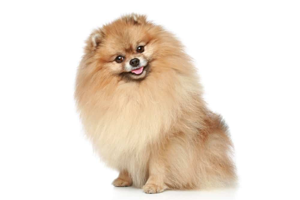 Pomeranian dog breed photographed on white background