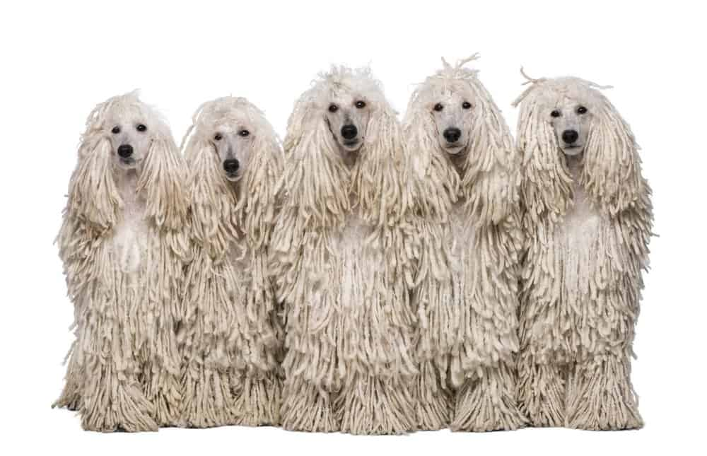 5 Poodle mop dogs