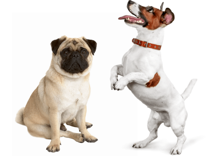 Pug and Jack Russell photographed in front of white background