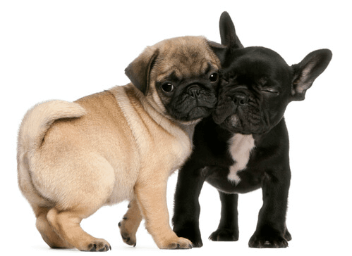 Pug and french bulldog puppy hugging on white background