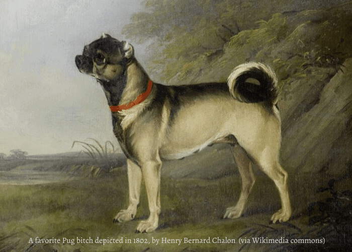 Pug bitch in 1802 photo