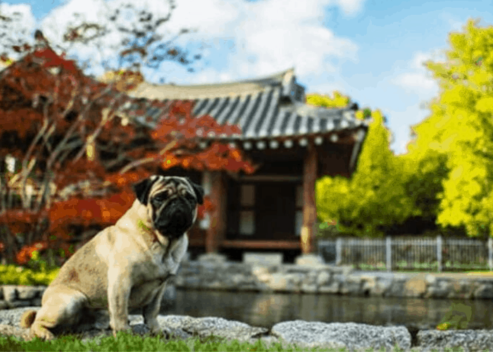 Pug dog sitting outside a chinese garden