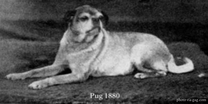 Pug in 1880 image