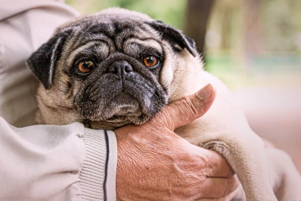 Pug in owner's hand