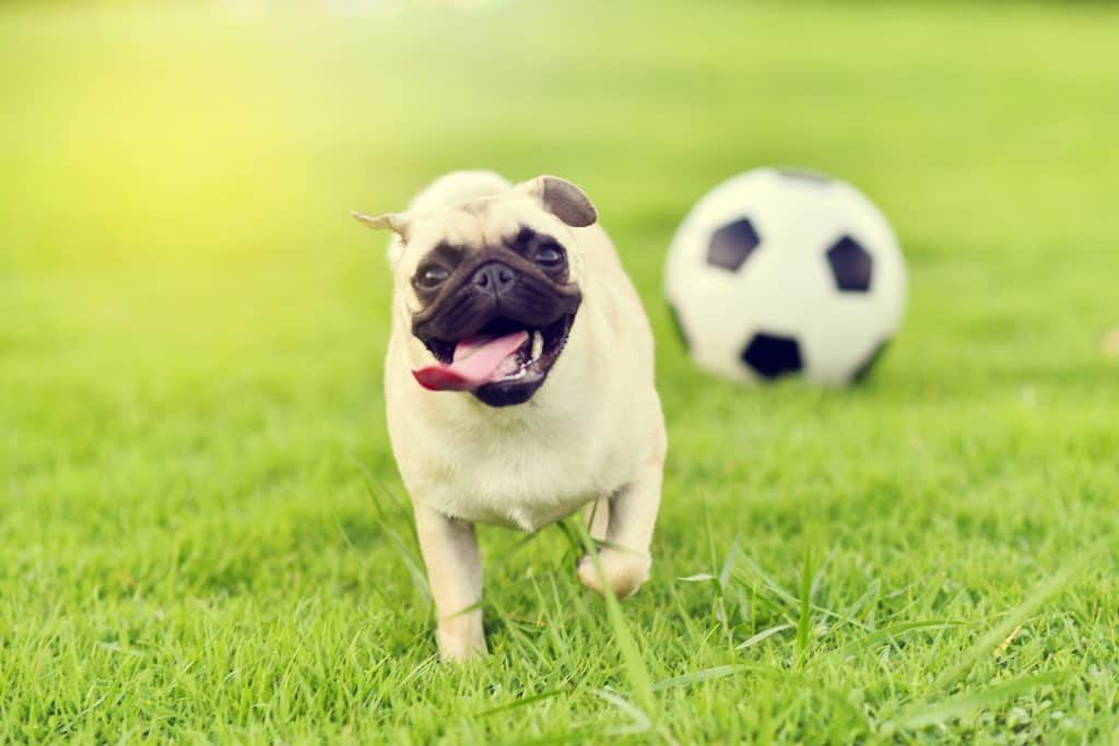 Pug playing on the lawn