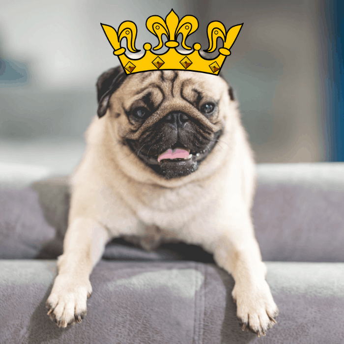 Pug with a yellow crown