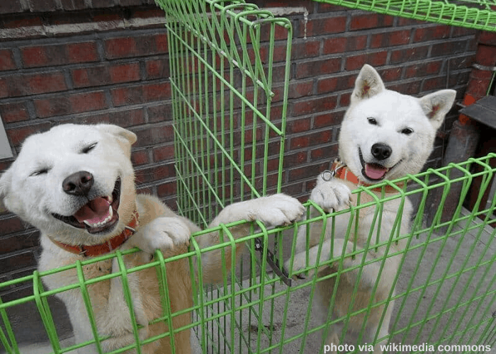 2 Pungsan Dogs inside a green cage