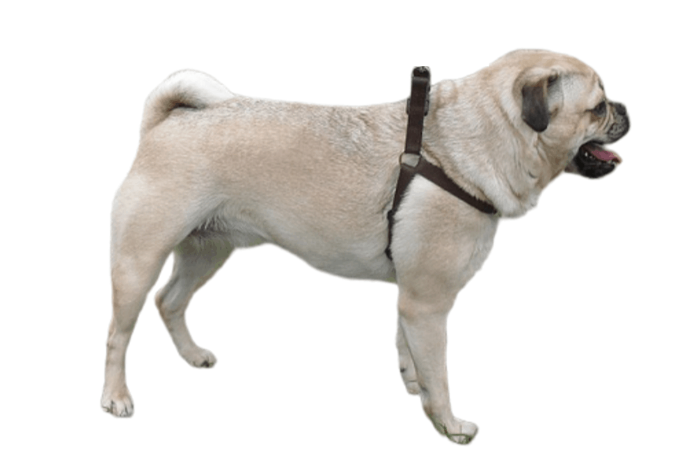 Retro pug or retro pug on white background
