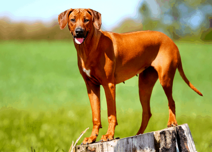 Rhodesian Ridgeback standing on a stump tree