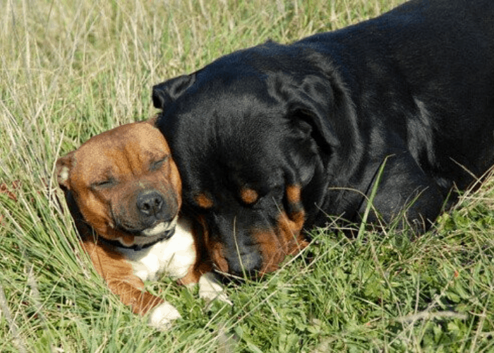 Rottweiler and pit bull dog chilling out in the sun