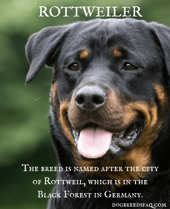 Rottweiler's name history image