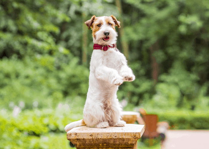Russell Terrier standing on the cemented post