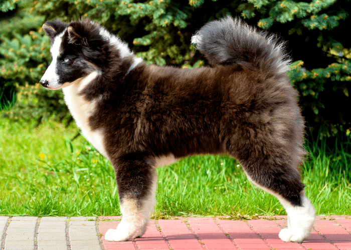 Russo-European Laika standing on the footpath