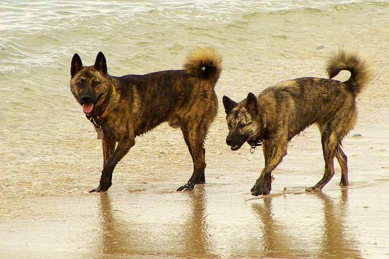 Ryukyu Inu Pair on the beach