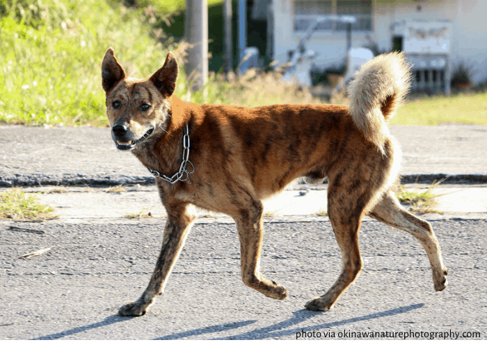 Ryukyu Inu walking in okinawa streets