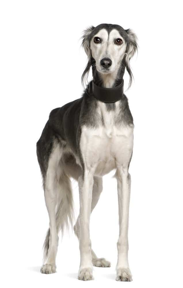 Saluki dog breed, standing on white background