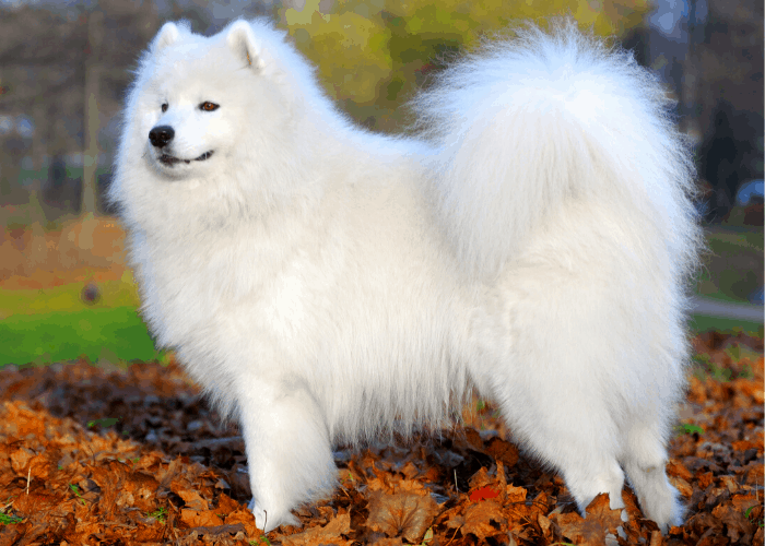 Samoyed standing at the park during autumn