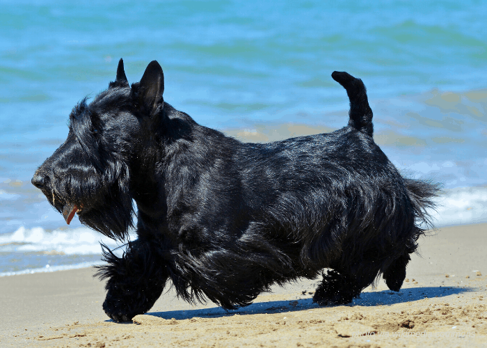 black Scottish Terrier running on the beach