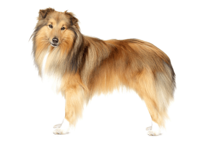Shetland Sheepdogs standing against a white background