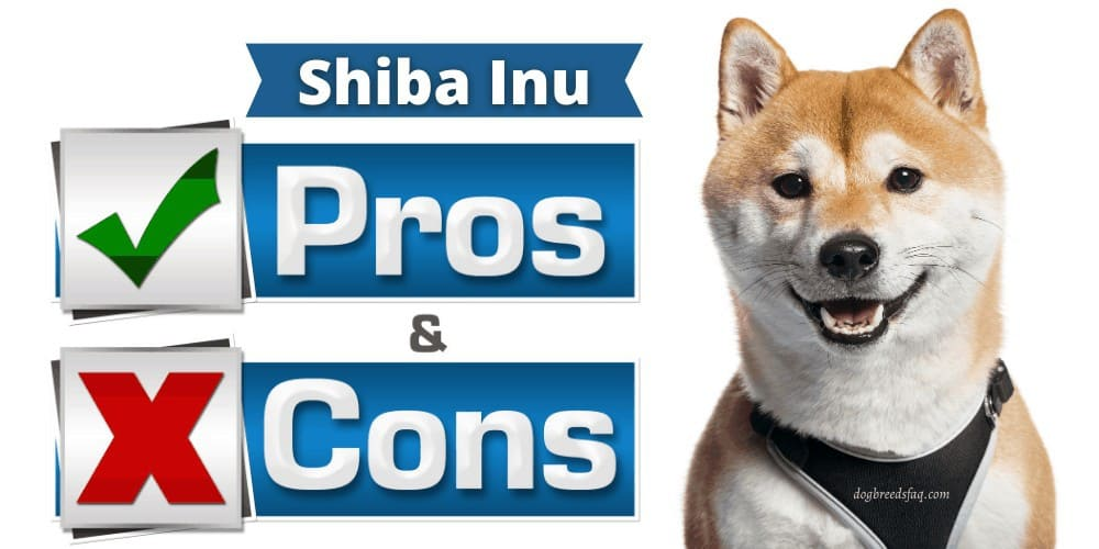 Shiba Inu pros and cons featured image