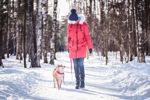 Shiba inu dog breed walks on a leash with the owner in winter