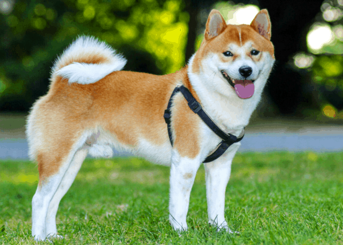 Shiba inu with body harness standing on the lawn