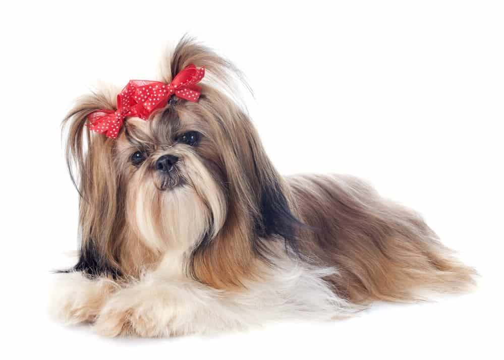 Shih Tzu dog breed with red ribbon on white background