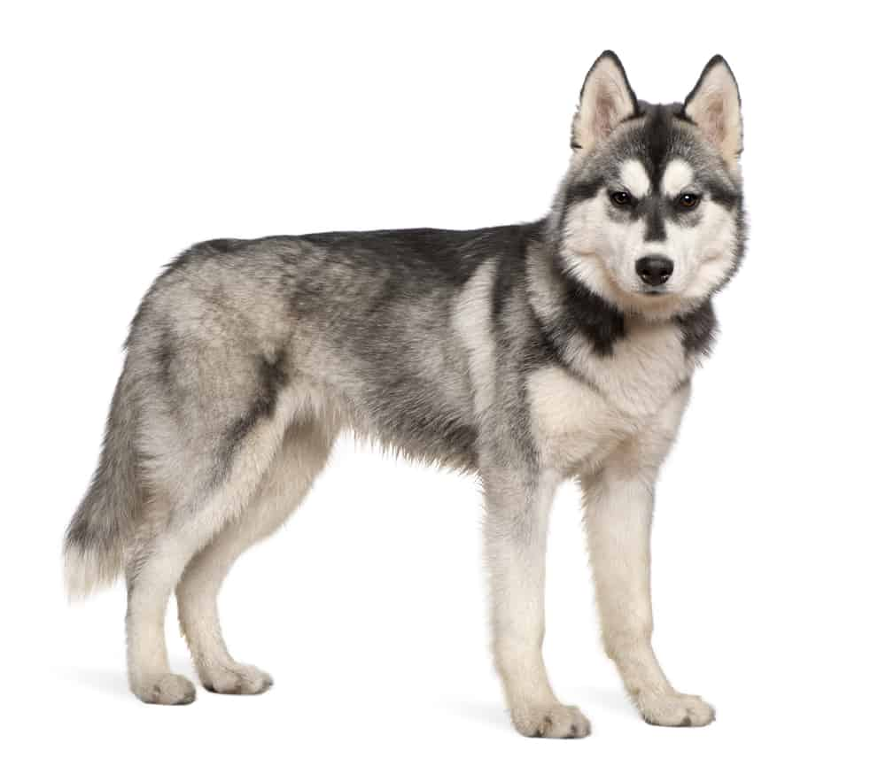 Siberian Husky standing against a white background