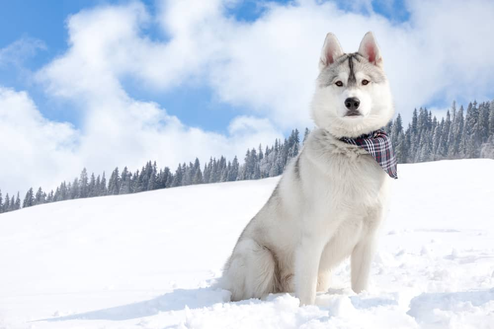 Siberian husky in the snowy field
