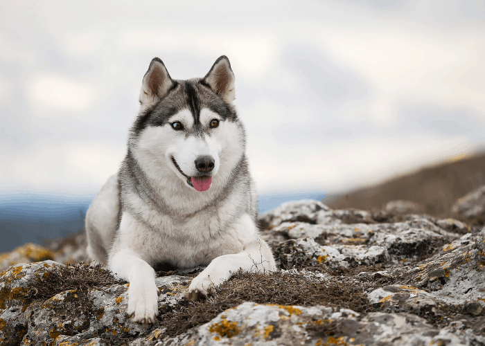 Siberian husky on the cliff