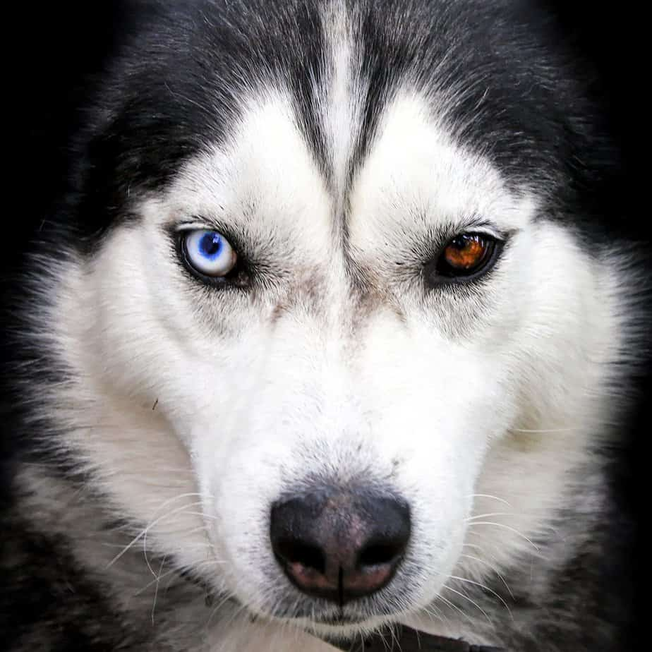 Siberian husky portrait with different eye colors
