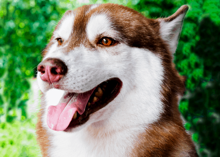 Siberian husky with its tongue out in the bush