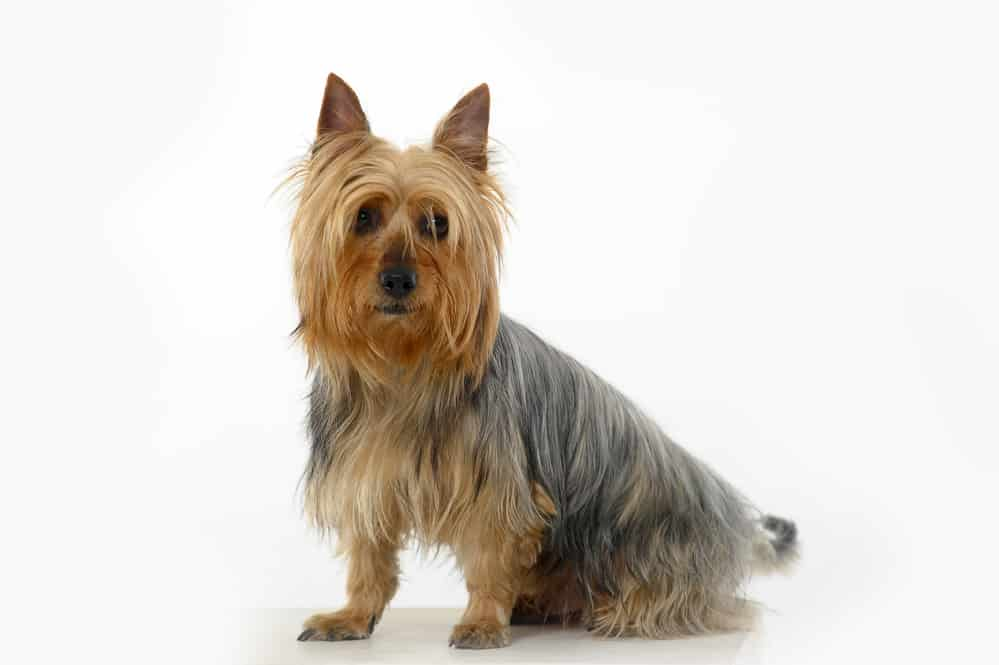 Australian Silky Terrier photographed in front of light gray background