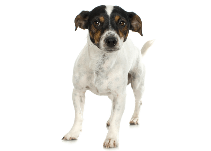 Smooth Fox Terrier photo on white background
