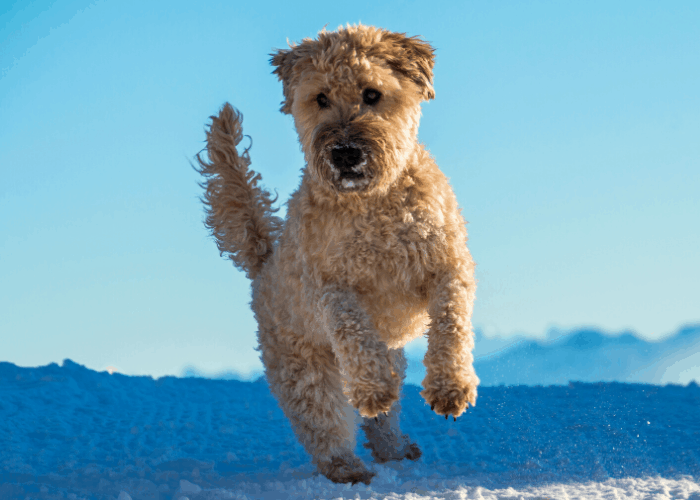 Soft Coated Wheaten Terrier jumping outdoors