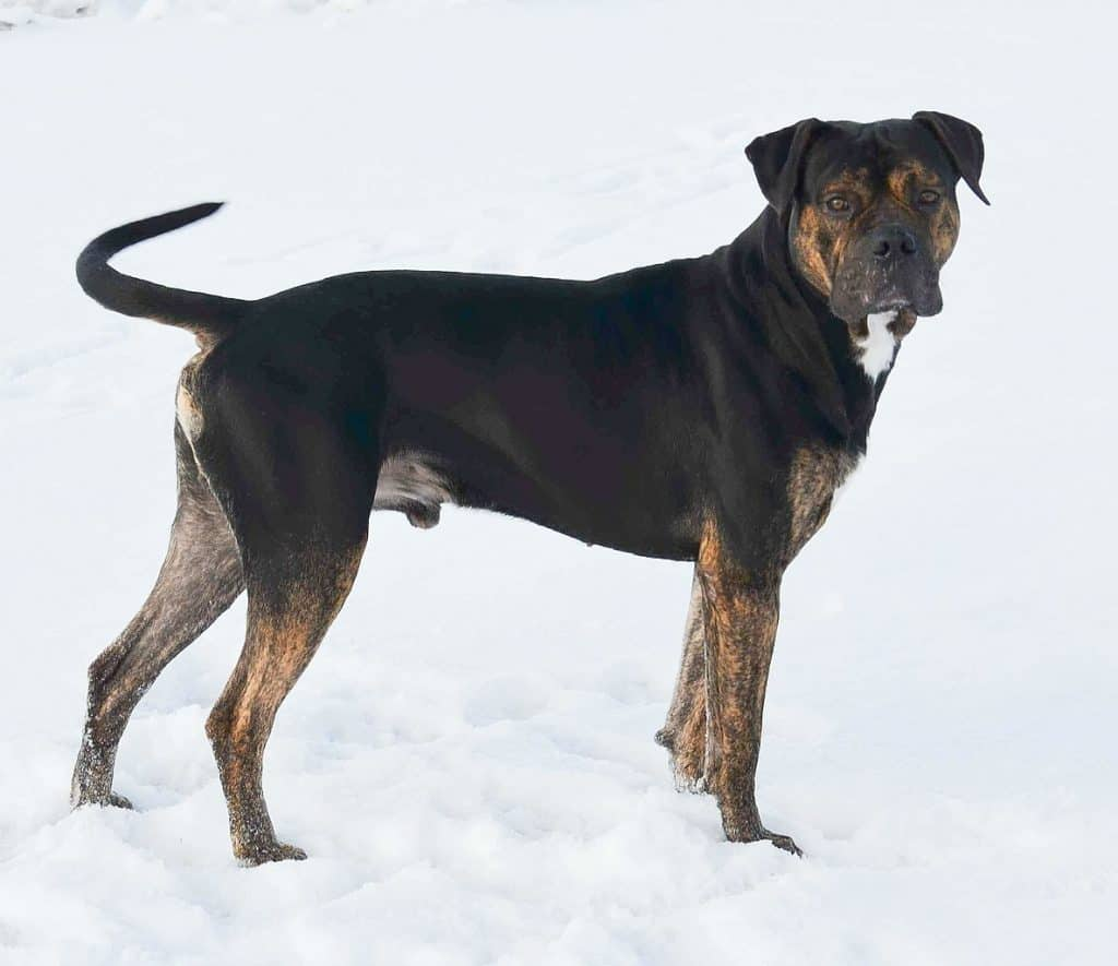 Spanish Dogo standing on the snow