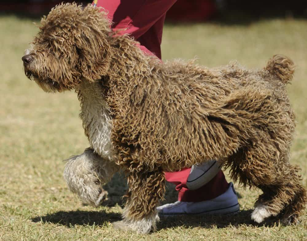 Spanish water dog on a leash with its owner