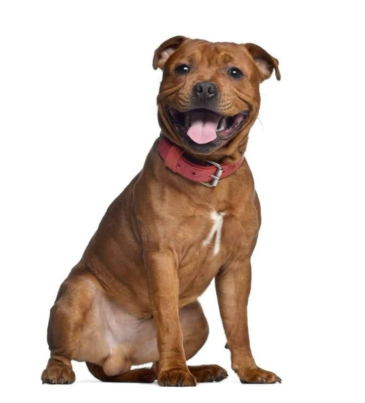 Staffordshire Bull Terrier with red collar image on white background