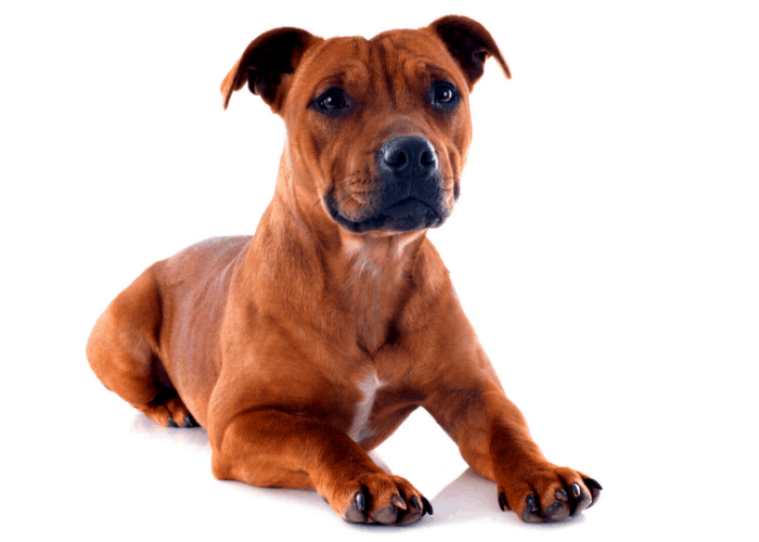 Staffordshire bull terrier image on white background