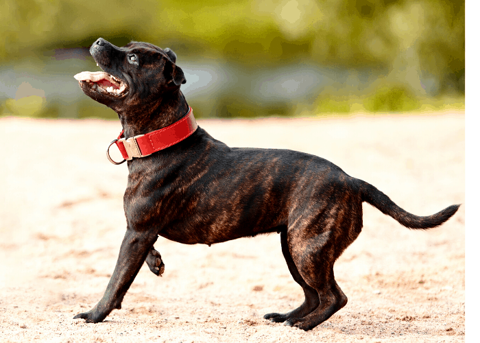 Staffordshire bull terrier on the beach