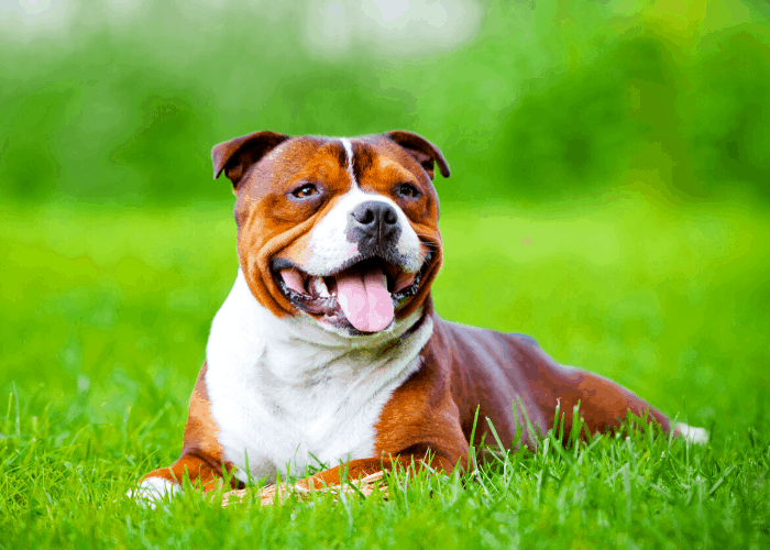 Staffordshire bull terrier on the green grass