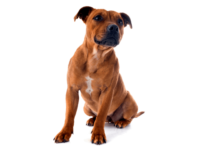 Staffordshire bull terrier photo on a white background