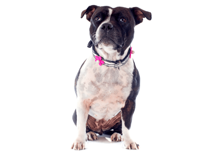 Staffordshire bull terrier with artistic leash on white background