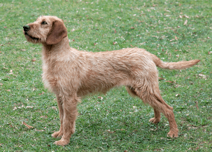 Styrian Coarse-Haired Hound standing on the lawn