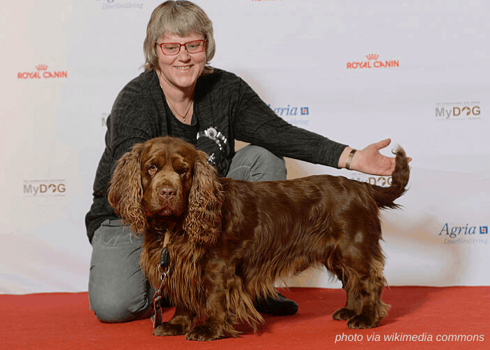 Sussex Spaniel with owner in a dog show
