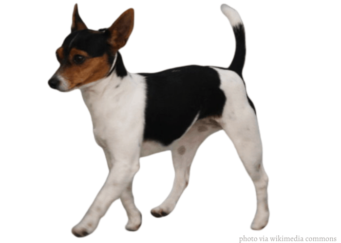Tenterfield terrier walking on a white background